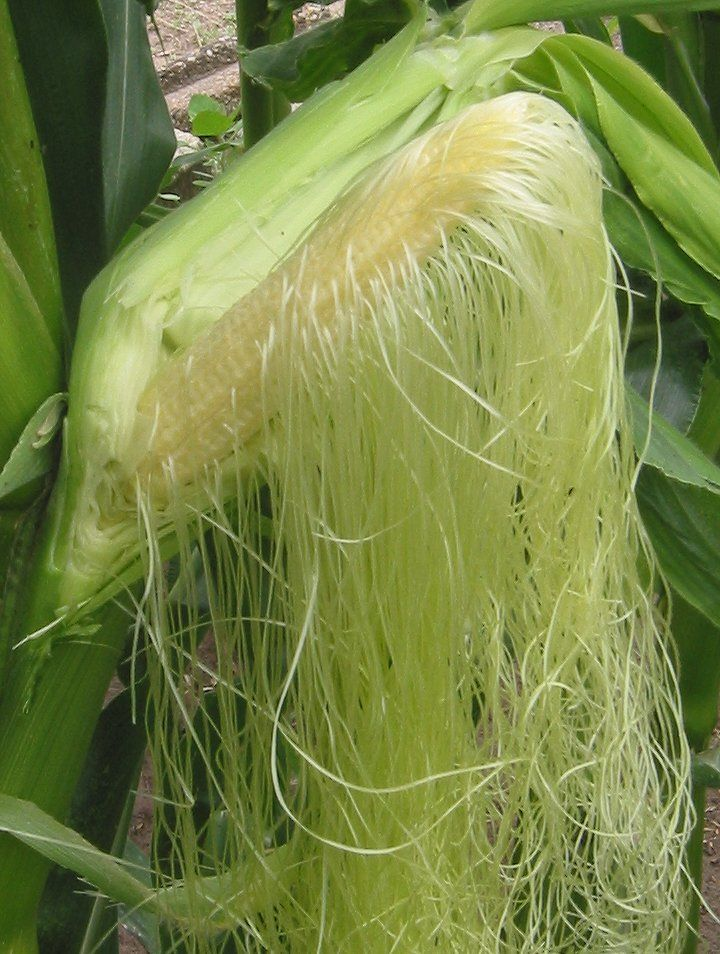 Estils de les flors femenines de blat de moro (Zea mays)
