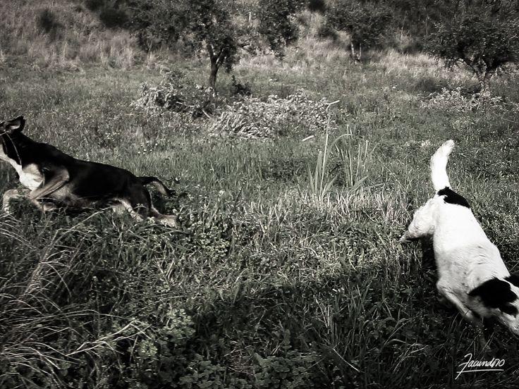 Cani di campagna. Calabria, Italia.