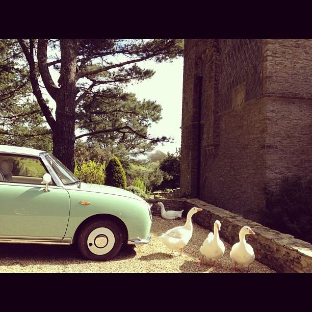 Foolish goose nest in drive