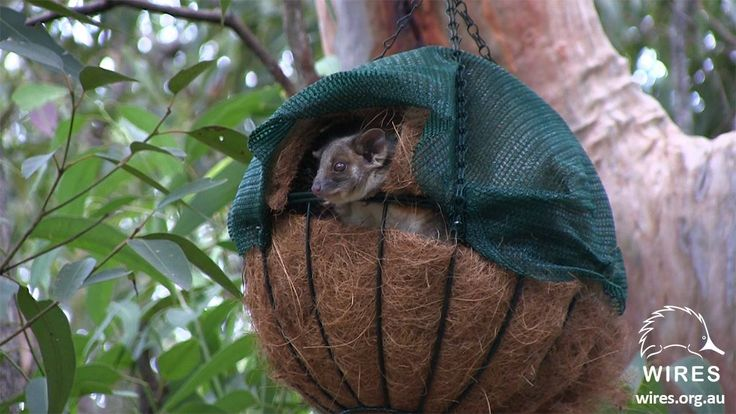 Homes for Ringtail possums: Making a drey using hanging baskets - See more at: http://www.wires.org.au/wildlife-info/wildlife-factsheets/making-a-ringtail-possum-home#sthash.Zj5EaAje.dpuf