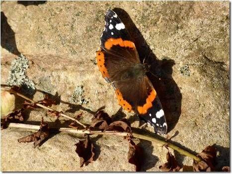 Amazing Schmetterlinge brauchen NahrungDer seltene Schwalbenschwanz bedroht durch Verlust von Lebensraum und Pestizide Foto