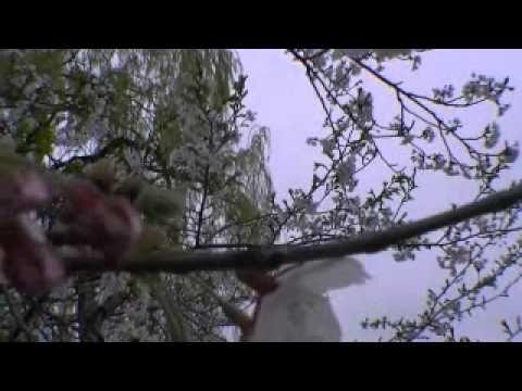 Cherry Blossom Oriole