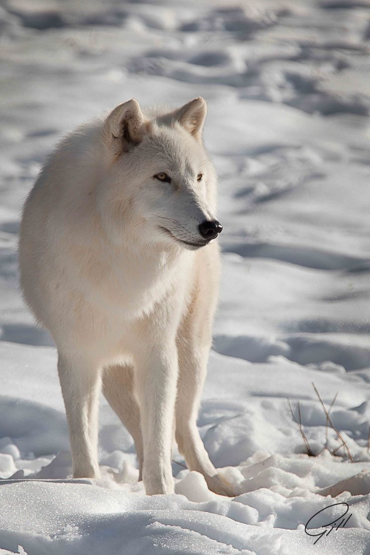 The Arctic wolf is a subspecies of the gray wolf (Canis lupus). Arctic wolves inhabit some of the most inhospitable terrain in the world where the air temperature rarely rises above -30 degrees C (-22 F) and the ground is permanently frozen. They are one of the few species of mammals who can tolerate these harsh conditions. Arctic wolves are usually smaller than gray wolves, and also have smaller ears, slightly shorter muzzles, and shorter legs to reduce exposure to the frigid air.