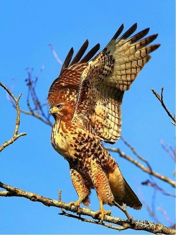 841 best images about birds of prey on pinterest - Red tailed hawk wallpaper ...