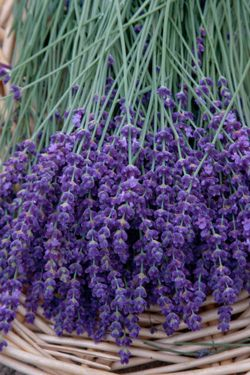 Lavender Flowers:  True lavender flowers from the lavender plant also have their own special meaning. When given as a gift, lavender flowers represent purity, silence and luck. Lavender flowers also convey a message of devotion.