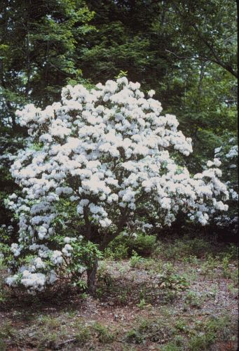 Kalmia latifolia, Mountain-laurel - Plant Database - University of Connecticut