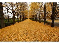国営昭和記念公園 イチョウ並木の写真1
