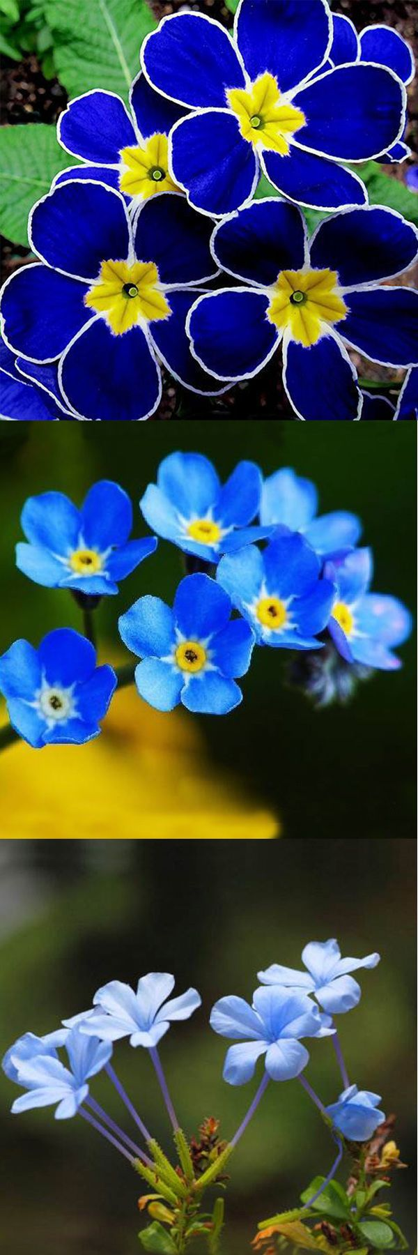 US$4.49 + free shipping.100Pcs Seeds, Blue Evening Primrose, Flower Bonsai, Garden Flower, Blue Flower, Gardening Decor, Flower Seeds