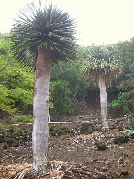 Dragon blood tree- (Dracaena cinnabari) named for its red sap!   That one was true. lol