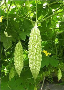 【健康蔬果】山苦瓜 - 野苦瓜  在台灣現已馴化為野生植物,中、南部中、低海拔山區、野地經常可見。  一年生攀緣草本。莖、枝、葉柄及花梗披有柔毛,腋生卷鬚。葉子的直徑達3至12厘米,有5至7道掌狀深裂,裂片呈橢圓形,外沿有鋸齒。春夏之交開花,雌雄同株,黃色。果實長橢圓形,表面具有多數不整齊瘤狀突起。種子藏於肉質果實之中,成熟時有紅色的囊裹著。 苦瓜含苦瓜素,故帶有苦味,煮後轉成苦甘味,有促進食慾、解渴、清涼、解毒及軀寒之效用。  分享來源: WIKI