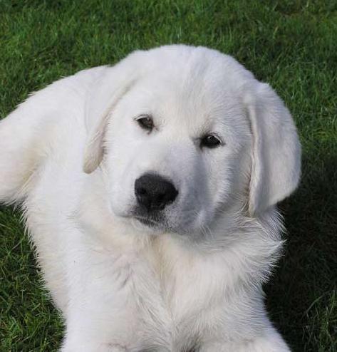 Sweetness + Intelligence = Dog I want! The Akbash is a guardian dog.