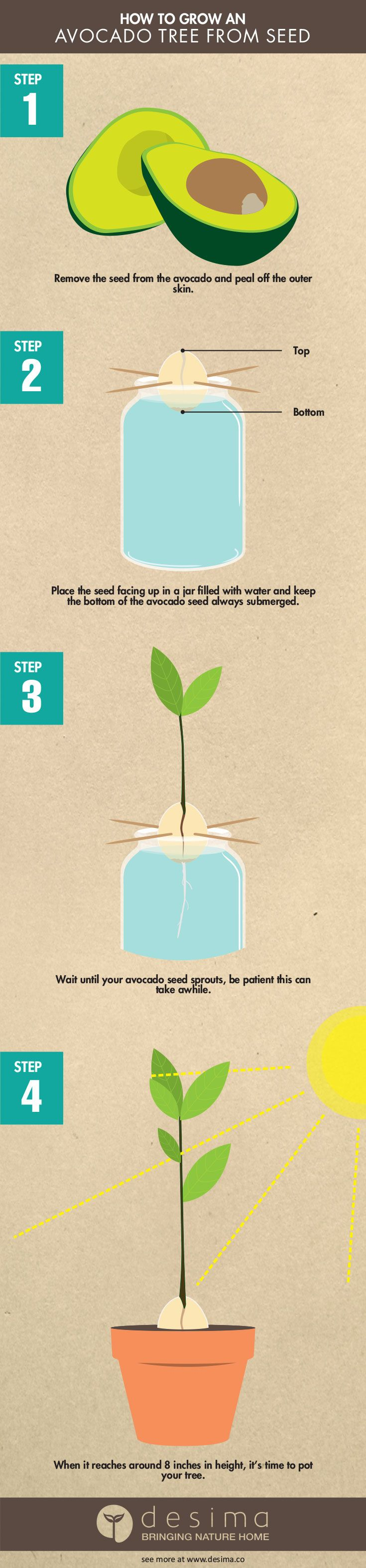 51 best desima infographics images on pinterest for Grow your own avocado tree from seed