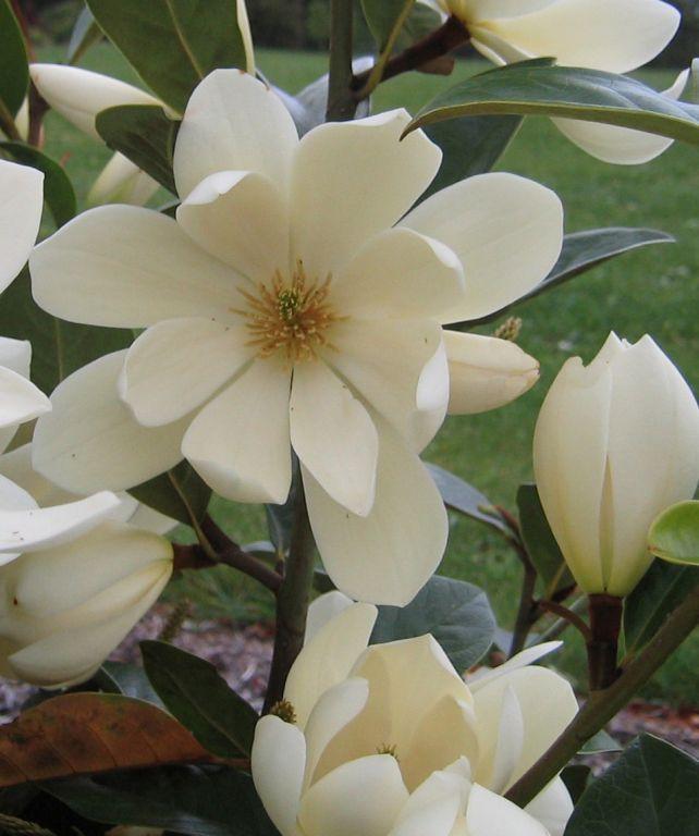 magnolia-fairy-cream