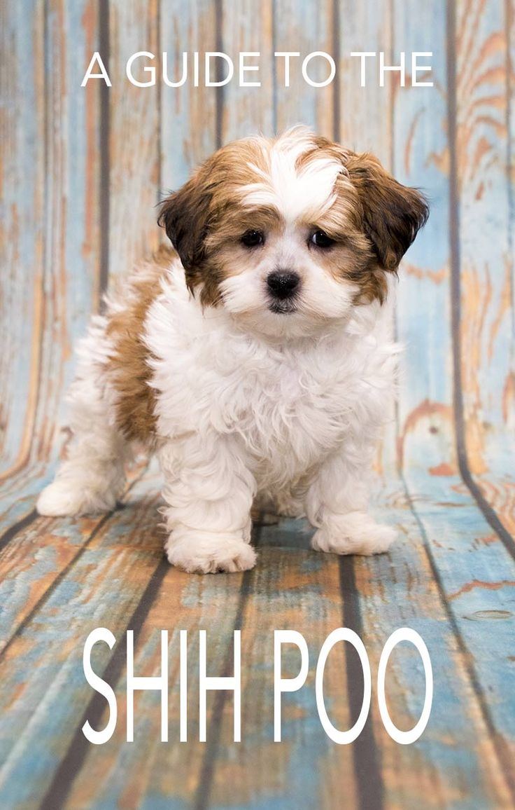 The Shih Poo - A Guide To The Poodle Shih Tzu Mix