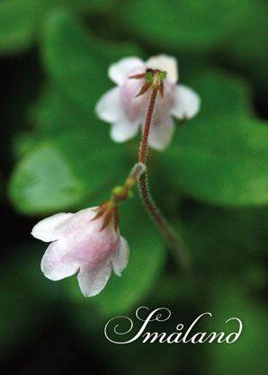 Linnéa - Småland's provincial flower