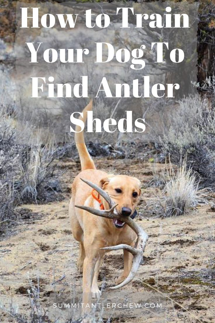 How To Teach Your Dog To Hunt Shed Antlers Dog Training Tips