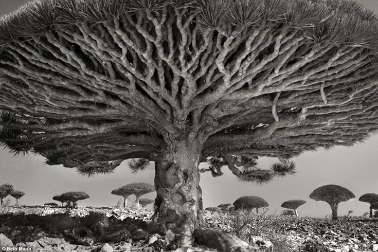 A lot of planning goes into each series of photographs. Above, Dragon¿s blood tree (Dracaena cinnabari) in Socotra, Yemen