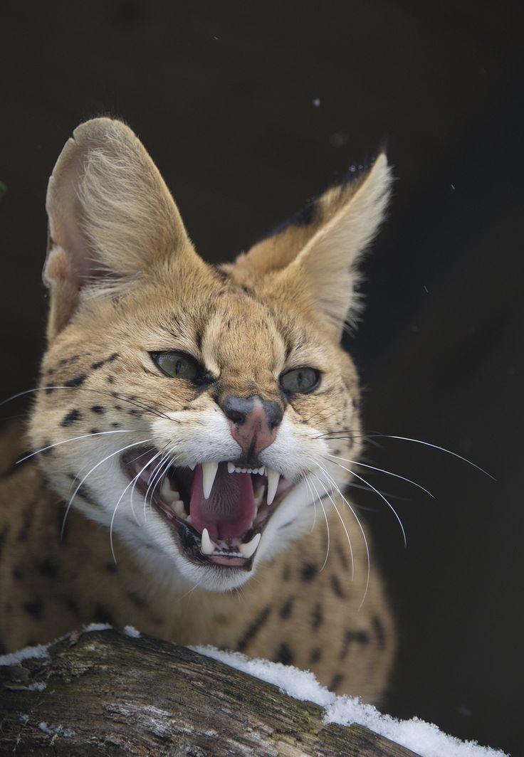 African Serval Wild Cat