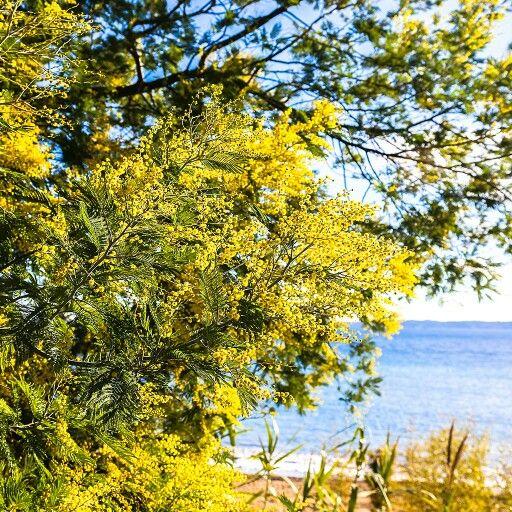 Тут же кругом растут мимозовые деревья, представляете? Не знаю, дотянут ли до майских праздников.  #прованс