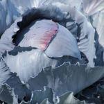 """""""Wir verkohlen euch heute"""" #Kohl #Winter #Klassiker #Kohlgemüse #Weißkohl #Gemüsearten #lagerbar #Jahrhunderte #Mittelmeerraum #Antike #Weg #Welt #Grundnahrungsmittel #Kalorien #Inhaltsstoffe #Vitamine #Mineralstoffe #Folsäure #Flavonoide #Speisekarte #Gemüse #Jahreszeit #Formen #Farben. #Senf #verwandt #Kreuzblütengewächse #Zeit #Vertreter #Galerie #Blumenkohl #Brokkoli #Chinakohl #Grünkohl #Romanesco #Rosenkohl #Rotkohl #Spitzkohl #Weißkohl #Wirsingkohl  Bildquelle: www.pixabay.com"""