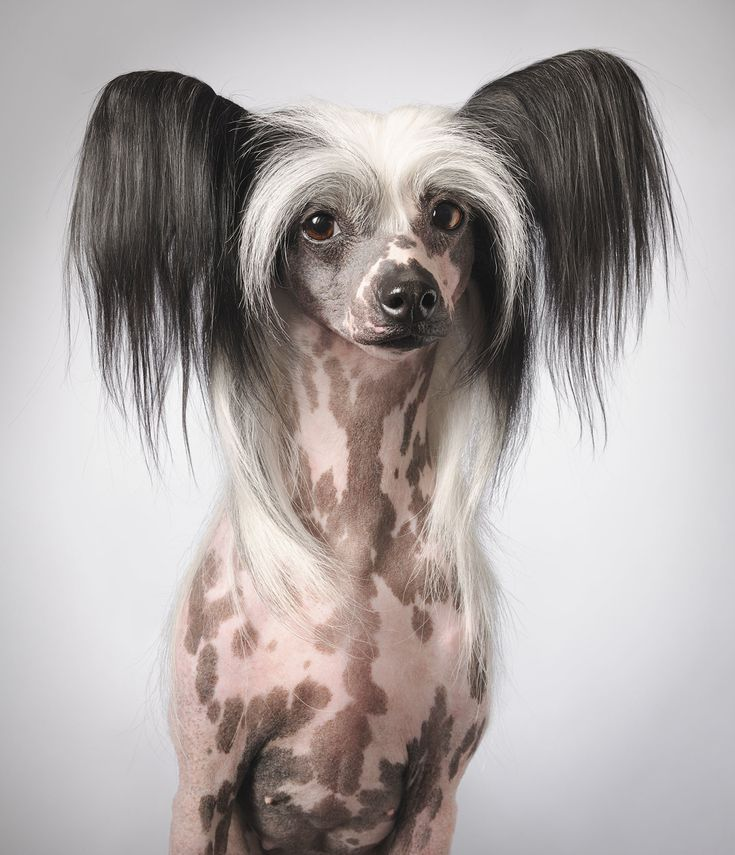 The Chinese Crested for those who prefer less hair! from Dog Gods - Tim Flach