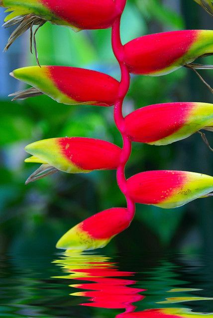 Heliconia  ♥ ♥   www.paintingyouwithwords.com: Tropical Flower, Color, Flowers Plants, Tropical Plants, Beautiful Flowers, Tropical Gardens, Bird Of Paradise, Exotic Flowers