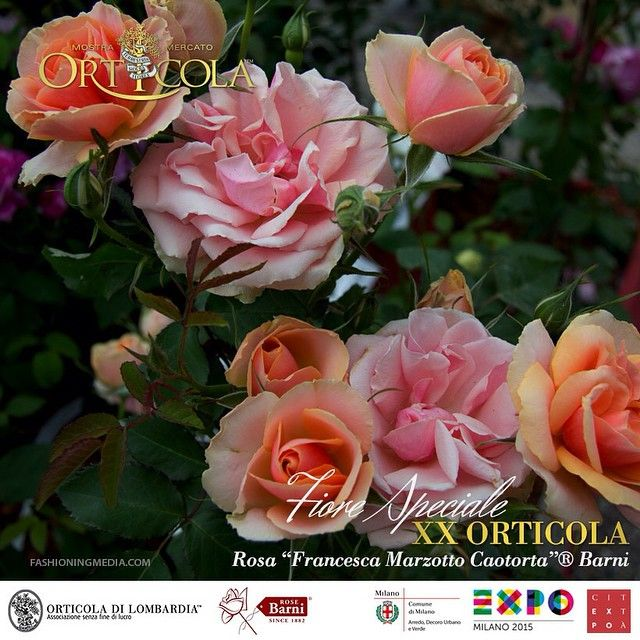 """""""Francesca Marzotto Caotorta"""" Italian #Rose.  Bright orange color. Bush bouquets rustic and vigorous, double flower cupped shaped classic ancient, well resistant to disease. Dedicated to the great journalist and expert on gardening, founder of the famous magazine Gardenia.  Won the Silver Medal Competition in Monza in 2014. Created by RoseBarni #madeinitaly"""