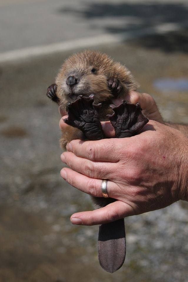 Cute little baby beaver omg!! :)
