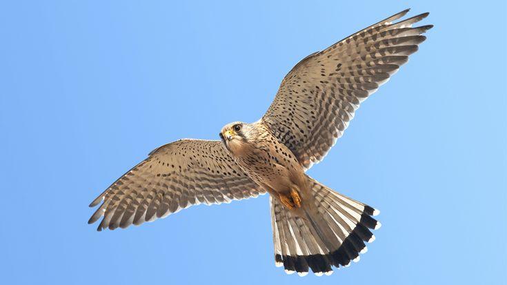 """Beim Rüttelflug bleibt der Turmfalke auf einer Stelle in der Luft stehen.Mit einer Spannweite von ca. 60 cm gehört der Turmfalke zu den kleineren Greifvögeln. Das Gefieder des Falken ist auf dem Rücken rotbraun mit starker Fleckung, während die Unterseite des Vogels cremefarben und nur leicht gefleckt ist. Charakteristisch für den Falken ist der abgerundete Schwanz mit der herausstechenden schwarzen Endbinde und dem weißen Saum. Typisch """"falkenartig"""" sind auch die spitzen Flügel. Weibchen…"""