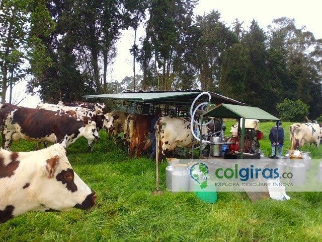 Ganado Holstein para Producción de Leche , Sabana de Bogotá