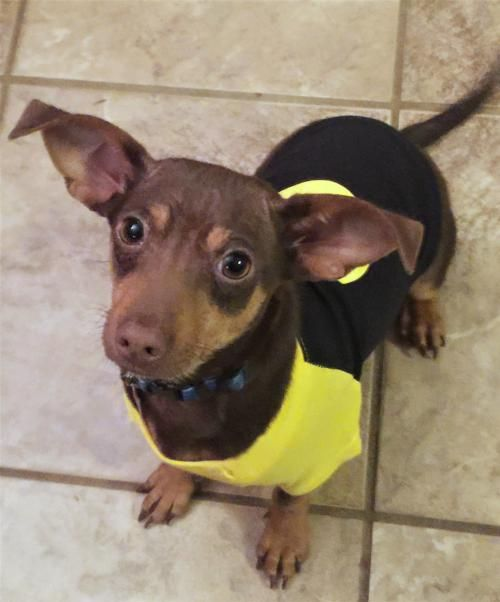 Hi I'm Dyson ! So your only wish for Valentine's Day is a #cuddle bunny #dachshund #chihuahua  mix boy #puppy to be your #dogs best #brother to #play in the #fenced yard with and guess what? That's me ! I'll get my toys packed up while you get my #adoption papers filled out !