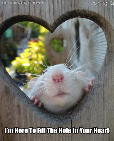 Pictures of my pet rats - No Nudes... hehe