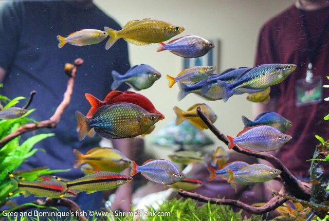 Rainbowfish tank!