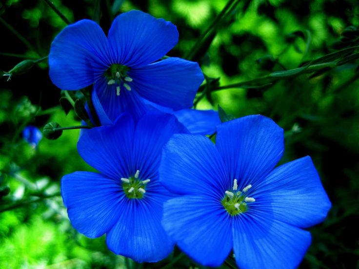 Dark Blue And White Flowers: Types Of Blue Flower Names Pictures, Blue Flowers For