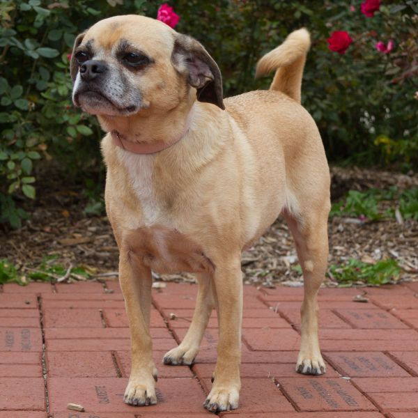 puggle. What is a puggle, you may ask? A puggle is a pug/beagle mix ...