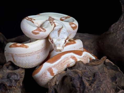 Albino Red-Tail Boa Constrictor (Boa Constrictor Constrictor), Captive by Michael Kern