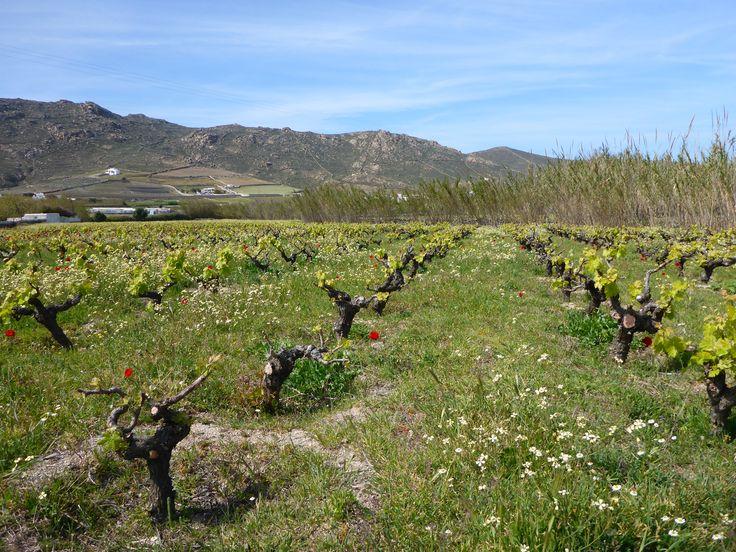 Springtime at Mykonos Vioma farm