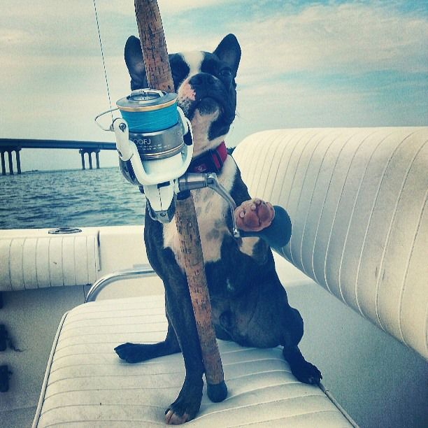 Brindle Boston named Dirtball Enjoying Himself on the Boat Catching Fish (Photo) - http://www.bterrier.com/brindle-boston-named-dirtball-enjoying-himself-on-the-boat-catching-fish-photo/ https://www.facebook.com/bterrierdogs