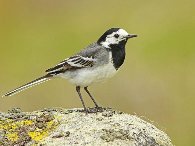 Pied Wagtail. It's very strange but I always see these birds on the car park at my local shopping centre. They are such lovely birds to be in such a man made environment.