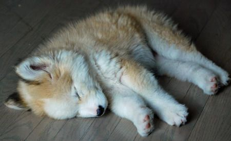 Alaskan Husky and Golden Retriever mix cute puppy dog animal