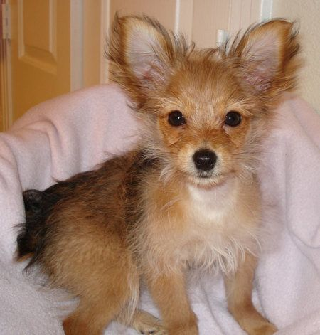 yorkie chihuahua mix for sale 15 best chihuahua yorkie cross images on pinterest 5170