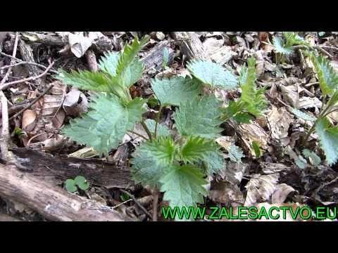 Liečivé rastliny z našej prírody - 9. Časť Pŕhľava dvojdomá - YouTube
