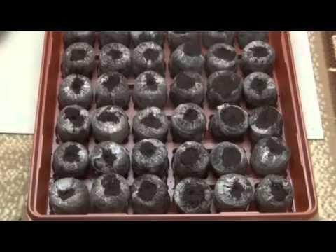 Выращивание рассады петунии - YouTube