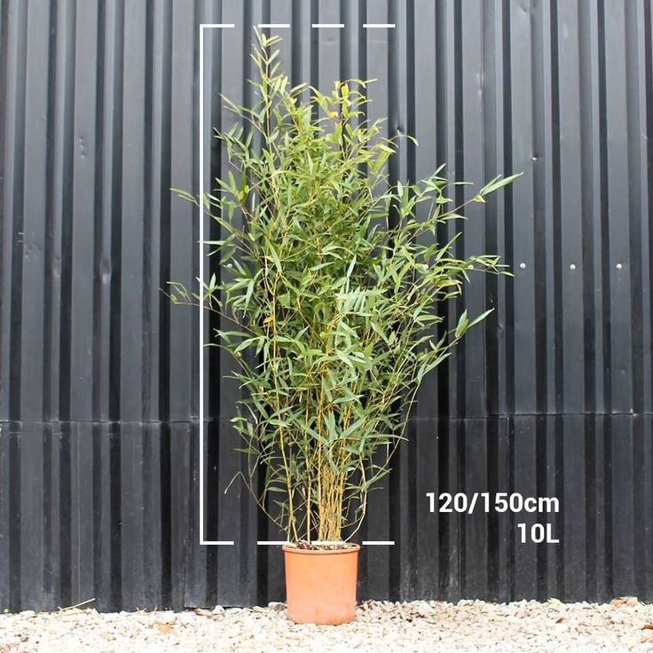 Golden Bamboo hedge plants