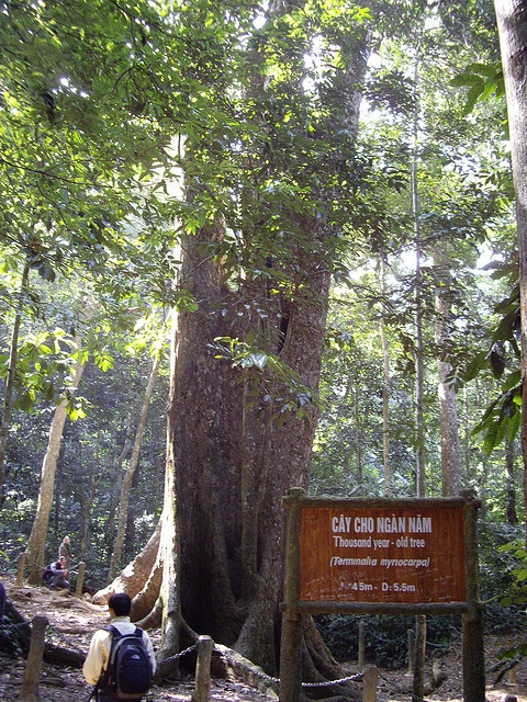 Cuc Phuong national park - thousand year old tree. We went for a 2 hour walk (up thousands of steps!!!) in this rain forest.
