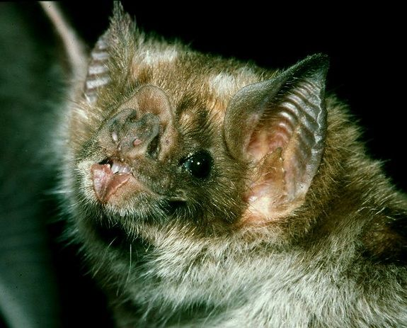 The vampire bat, Desmodus rotundus, has special brain cells that are sensitive to the deep breathing sounds of snoozing animals.