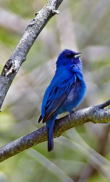 Indigo Bunting (Passerina cyanea), is a small seed-eating bird in the family Cardinalidae. It is migratory, ranging from southern Canada to northern Florida.