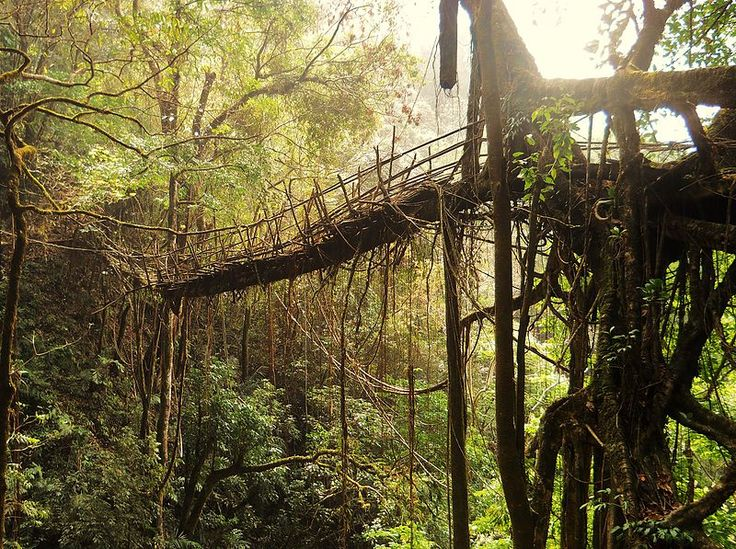 This living root bridge is the longest known example.