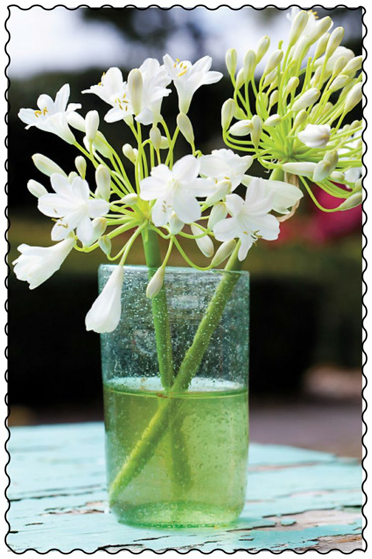 Holex Insights newsletter week 24: All about flowers - Agapanthus.