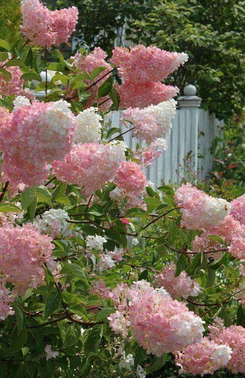Vanilla Strawberry Hydrangeas  also referred to as Pink and white Cotton Candy French lilacs